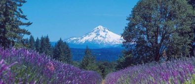 Mt Hood - Oregon Lavender Farm