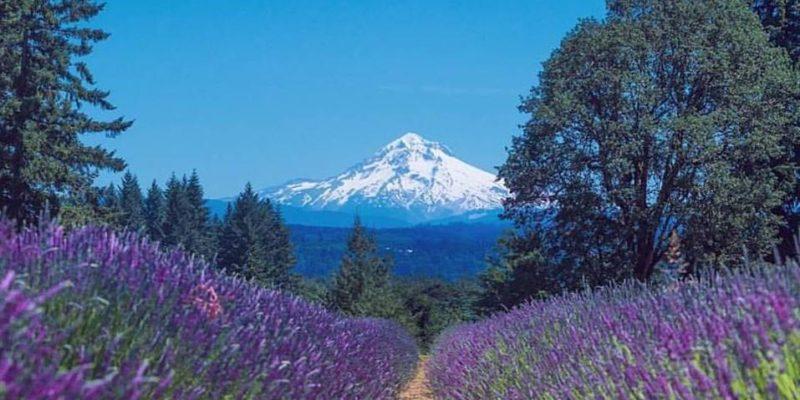 Mt Hood - Oregon Lavender Farm